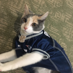 Our therapy kitten in her Patriots jersey!